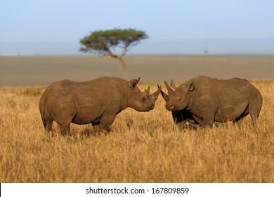 Fighting Black Rhinos, male and female, in Masai Mara, Kenya