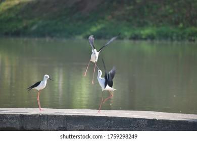 Fighting Black-winged Stilt birds on the dam