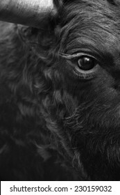 Fighting bull head detail in black and white. Vertical