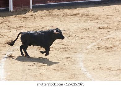 Fighting bull running in the arena. Bullring. Toro bravo. Spain