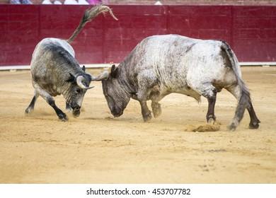 Fighting Bulls In A Bullring Spain