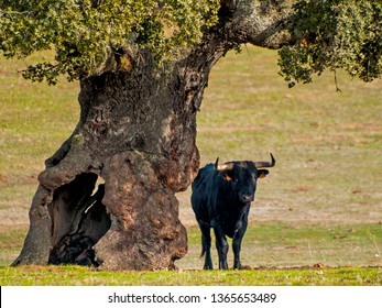 Fighting bulls in the dehesa in Salamanca (Spain). Ecological extensive livestock concept