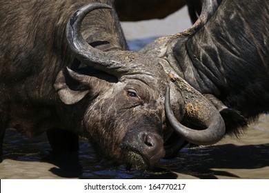Fighting Cape Buffalo