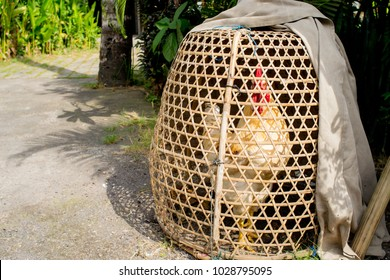 A fighting chicken in a cage, Bali, Indonesia. Cockfighting plays a very important role in the life of many Balinese men. A cockfight is a fight between two roosters in a caged ring.