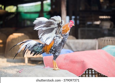 Fighting cock of the Thailand