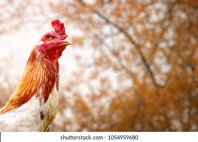 A fighting cock,the traditional type of Asian.