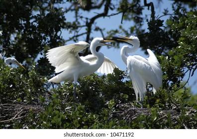 Fighting Egrets