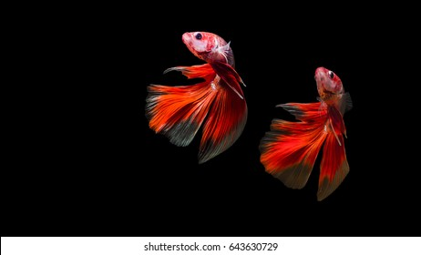 fighting, fish