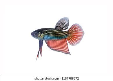 Fighting Fish / Betta Fish : Siamese fighting fish (Isan betta, pure blood wild fish) , isolated on white background