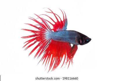 fighting fish , betta splenden, siamese fighting fish  isolated on white