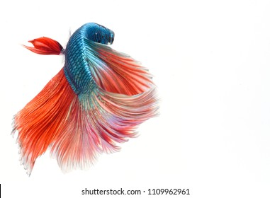 Fighting fish, colorful background