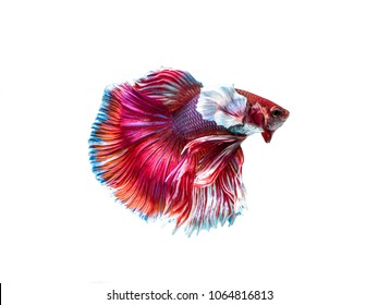 "Fighting fish ""Fancy Halfmoon Betta"", Beautiful of siam betta fish in thailand. isolated on white background."