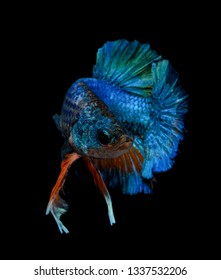 Fighting fish isolated on black background