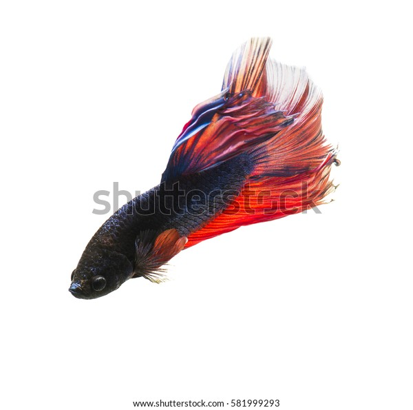 Fighting fish isolated on white background