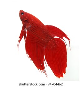 Fighting fish red