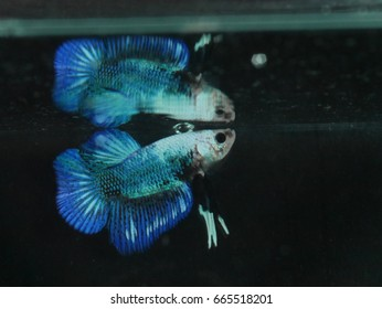 Fighting fish and reflection
