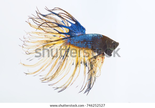 Fighting fish with white background.