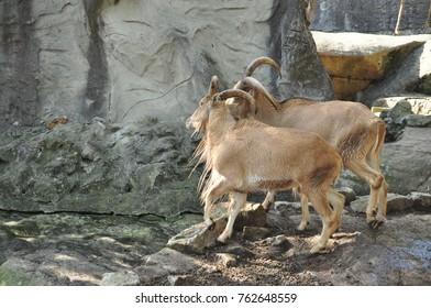 fighting goats zoo