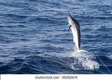 Fighting marlin - marlin mid fight game fishing