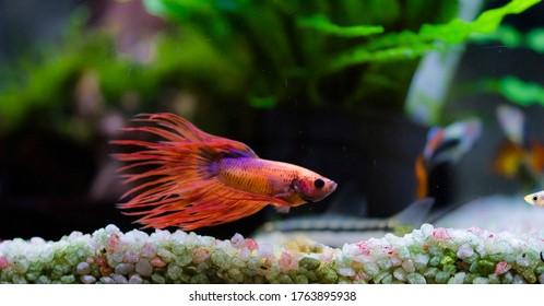 TheSiamese fighting fish(Betta splendens), also known as thebetta
