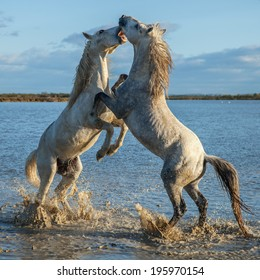 fighting stallions in the marshes of the Camargue in southern France