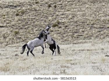 Fighting Wild Horses