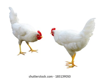 Fighting young cocks isolated on the white background