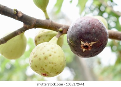Figs of guava with both piston and unripe balls, whereby the beetle sting is black spots.