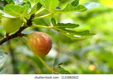 Figs on the fig tree.