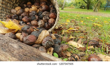 Figs, wallnuts and leaves