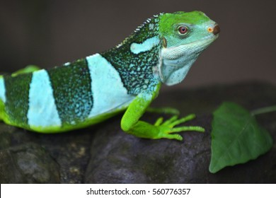 Fiji banded iguana, one of the few species of iguanas found outside of the New World and one of the most geographically isolated members of the family Iguanidae.
