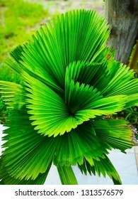 Fiji Fan Palm, with leafy appearance, small green pleats. Which is an ornamental plant in the garden. It is planted in pots to take care before planting in the garden. Selective focus and copy space.
