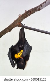 Fiji Flying Fox hanging, on a tree branch eats Mango.Bats are the only native mammals in Fiji and Fiji Flying Fox is a tree dweller endemic to Fiji and critically endangered