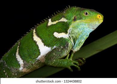 Fijian crested iguana (Brachylophus vitiensis) female