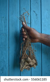Fijian man holds a root of pepper plant used to produce Kava drink with sedative, anesthetic, euphoriant and entheogenic properties.Kava is consumed throughout the Pacific Ocean cultures of Polynesia.