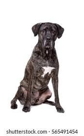 Fila brasileiro dog in front of a white background