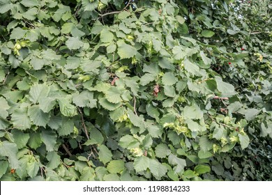 Filbert (Corylus maxima) in orchard, Republic of Dagestan, Russia