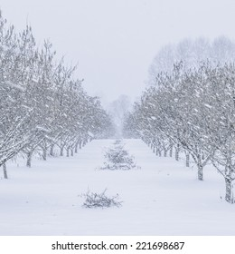 A filbert or hazelnut orchard during a winter snow and freezing rain storm