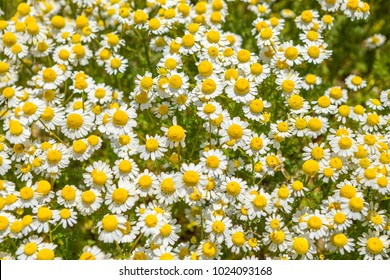 Fild of camomiles at sunny day at nature. Camomile daisy flowers, field flowers, chamomile flowers, summer Sunny day