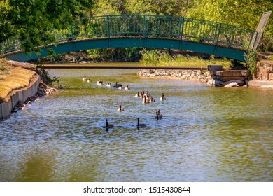 A file of geese swims under the bridge almost single file.