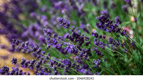 Filed of lavender.
