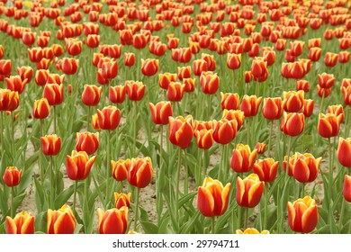 Filed of red yellow tulips