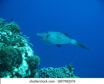 A filefish swims in the Gulf of Mexico near Cozumel