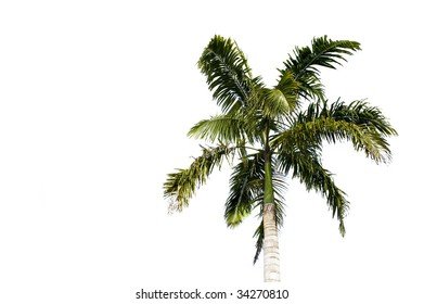 Filipino palm tree isolated on a white background