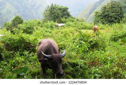 Filipinos see carabaos as faithful partners in life. The carabao or kalabaw is a water buffalo that is endemic in Southeast Asia.
