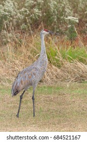 Fill body profile of a standing sandhill crane in a meadow filled with prairie grass, ironweed and goldenrod.