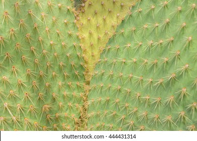 Filled full frame picture. Cactus surface with different colors. Cactus Texture natural background. Flat leaves of green and yellow cactus with needles pattern. Textured natural backdrop.