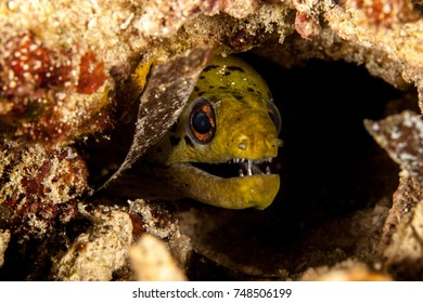 Fimbrated Moray Eel