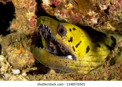 Fimbriated moray eel closeup