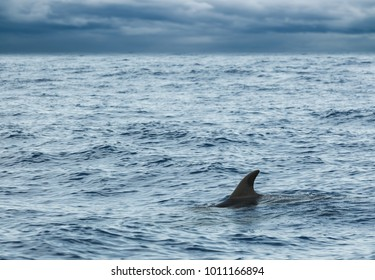 Fin of Common Dolphin swimming in Atlantic Ocean near Madeira Island is cloudy day, Portugal